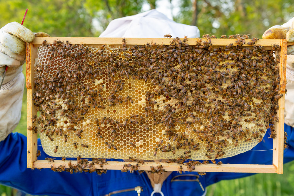 A frame from the Green Hive, with visible eggs, worker cells, drone cells, new honey, and pollen! They're doing well!
