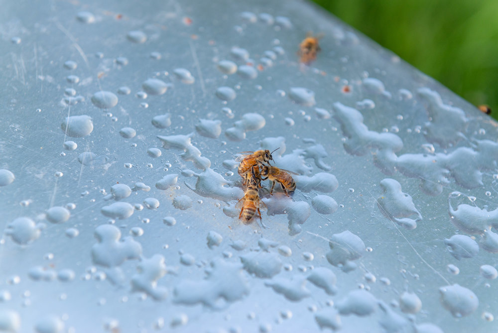After shaking bees off the frame, many drops of sugar water poured out. It's a reminder that the bees are quick to take sugar water and immediately want to start turning it into honey.