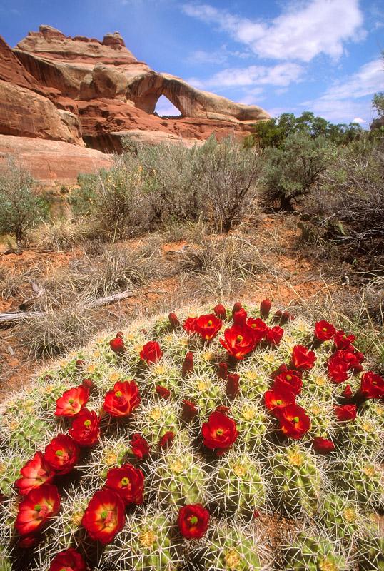 Claret cup cactus, northern Bears Ears: ©Bill Ellzey