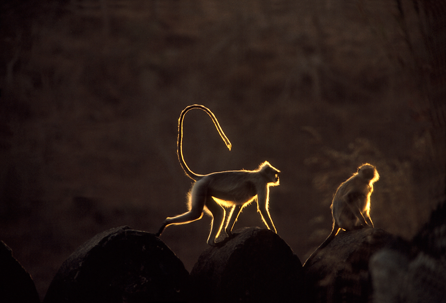 900.115.Langour Monkeys.jpg