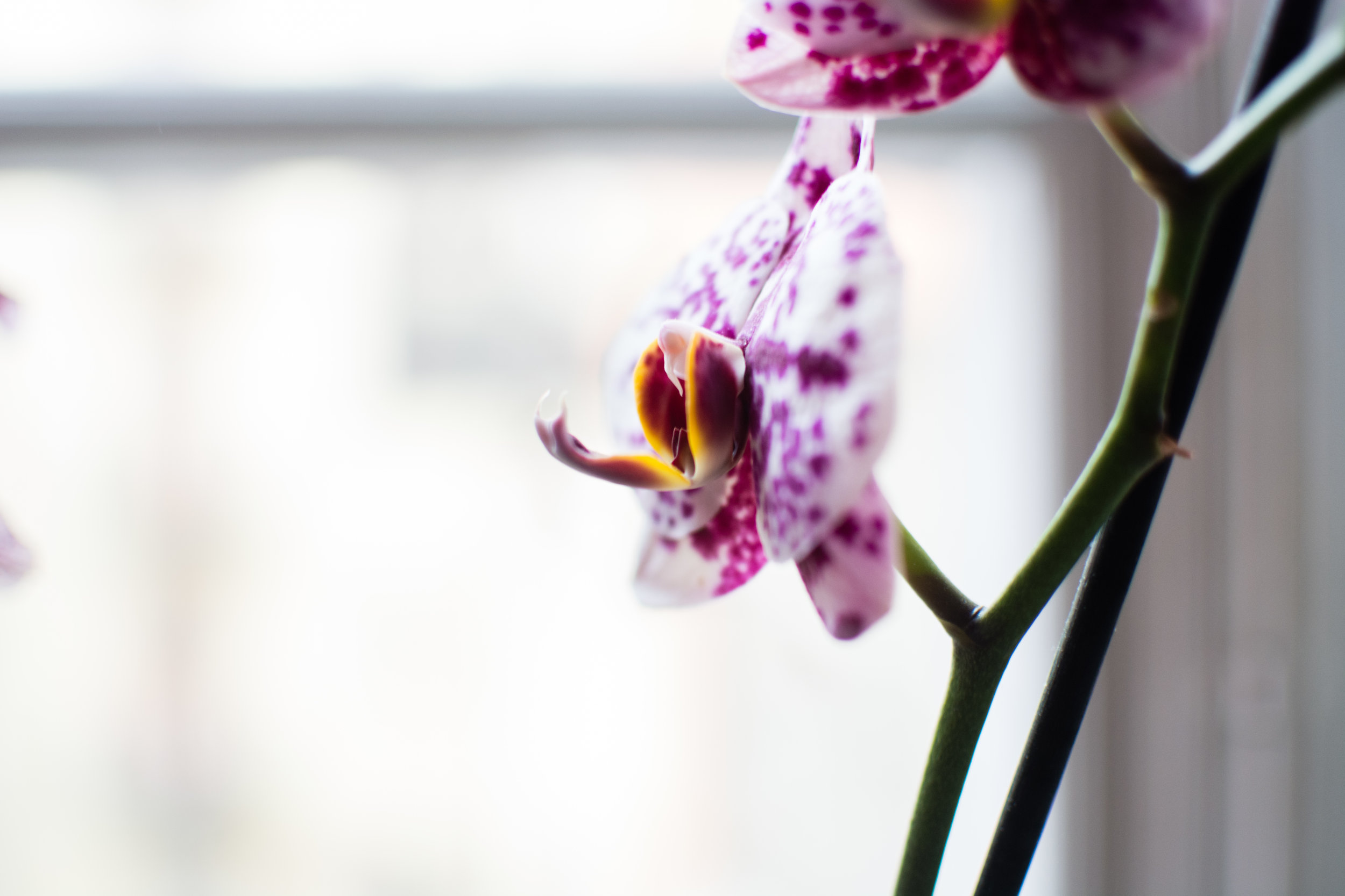 Pink Orchide