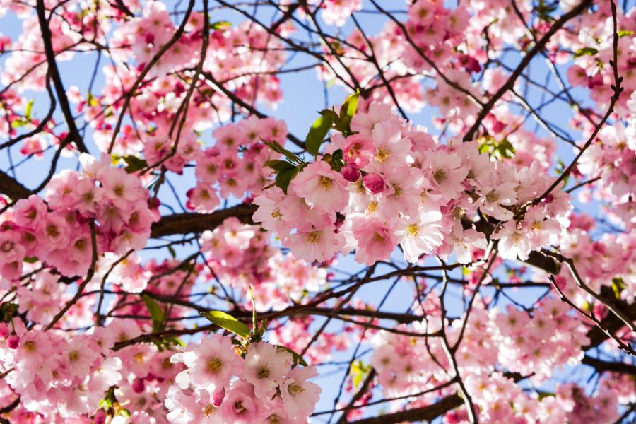 Bysistorgets körsbärsträd