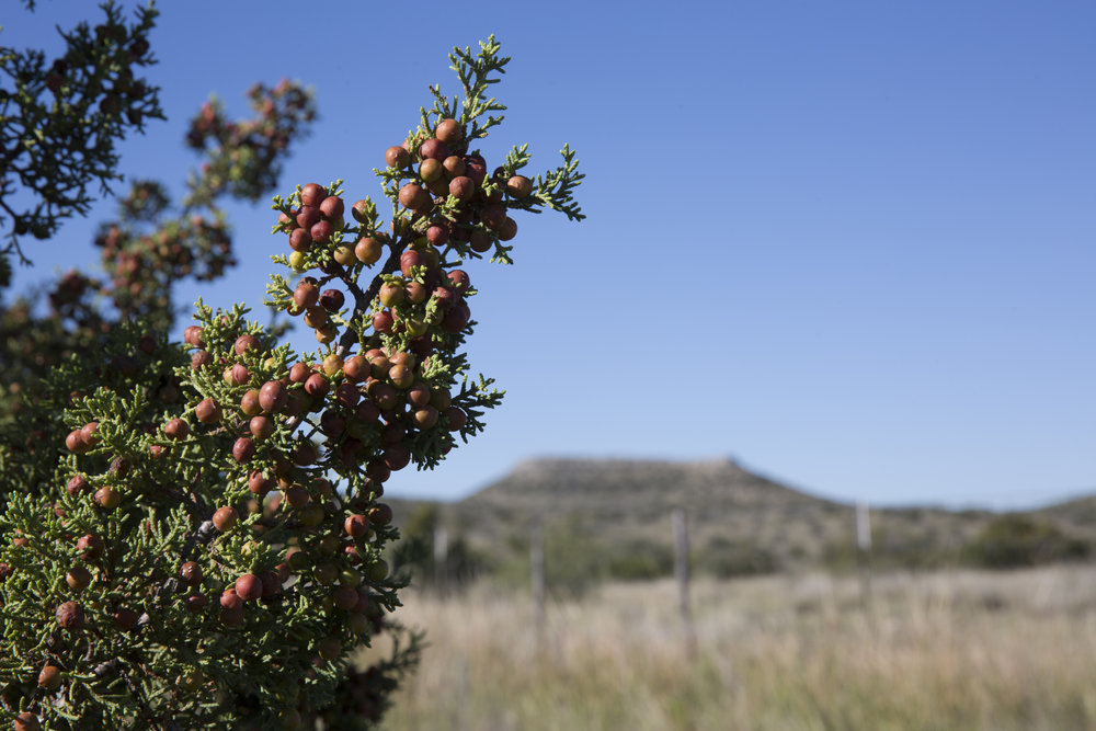 """USA TODAY - Can American juniper berriers give gin terroir?Gin tastes like juniper, and all juniper is the same, right? Not so much... """"Among producers in the gin world, juniper provenance is becoming an increasingly important thing to consider,"""