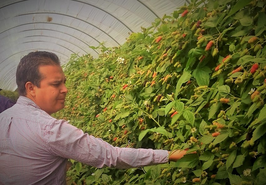 Roberto working with Blackberry growers in Tasmania
