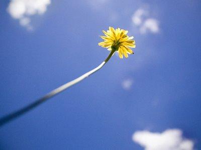 Dandelion-Simplicity.jpg