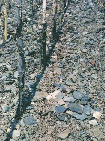 The grey-blue Devonian slate of Wehlener Sonnenuhr