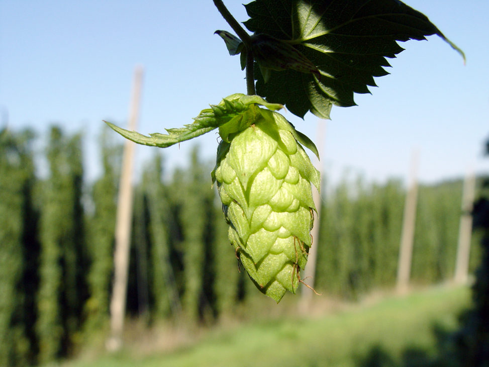 A Hop Flower Cone On The Vine