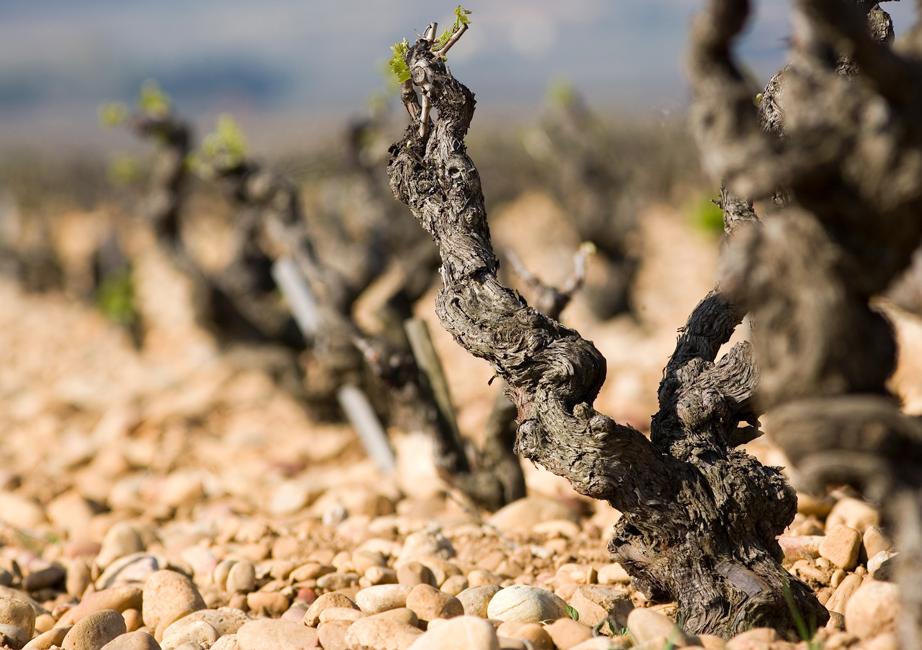 Beaucastel's  vieilles vignes  and  galets