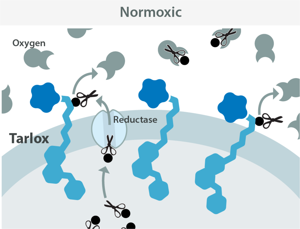 Physiologic Oxygen   (Normoxic):  Tarlox (prodrug) gains an electron (black circle) to produce a reactive intermediate, however oxygen quickly scavenges the electron to revert the intermediate to inactive Tarlox
