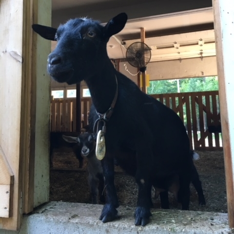 Holly - Nigerian Dwarf Goat.jpg