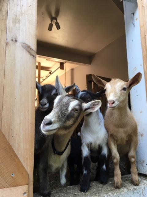 Curious nigerian dwarf goats