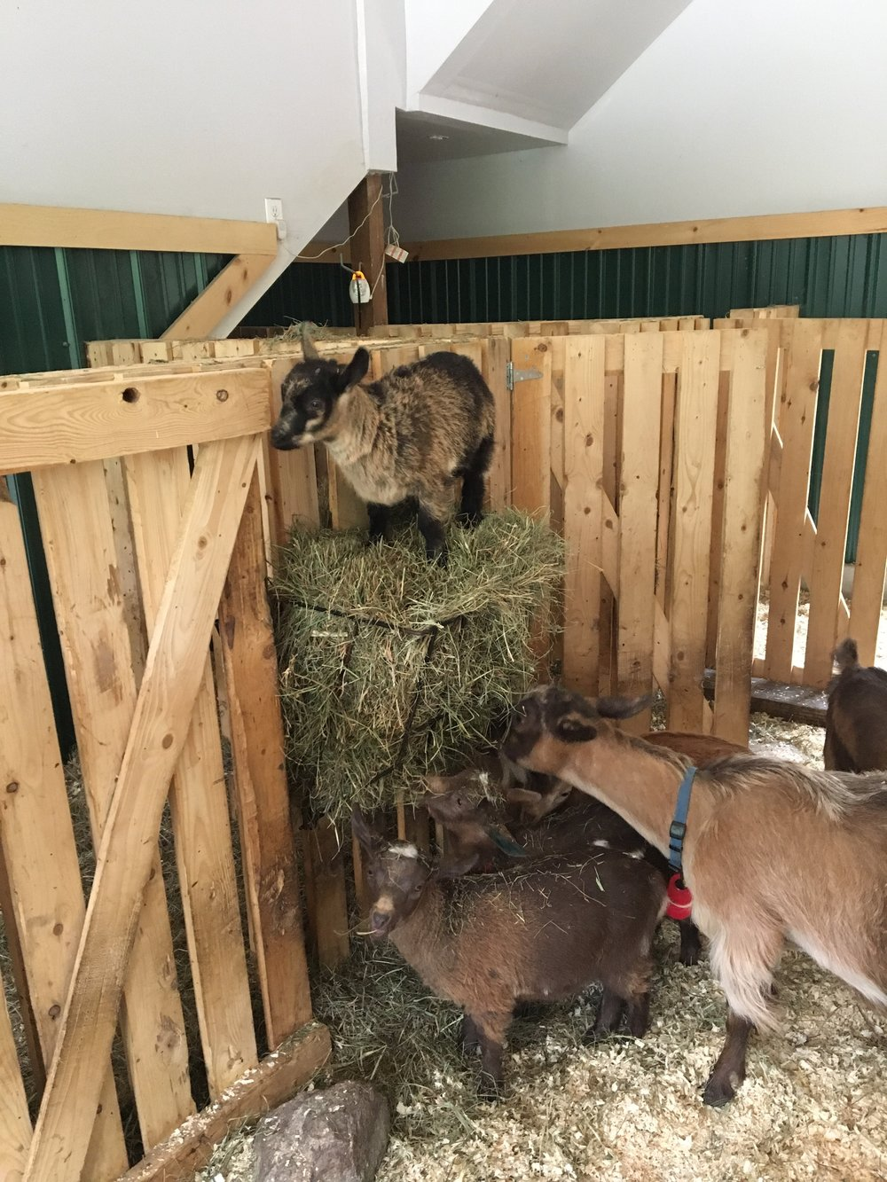 Goats play on hay bails