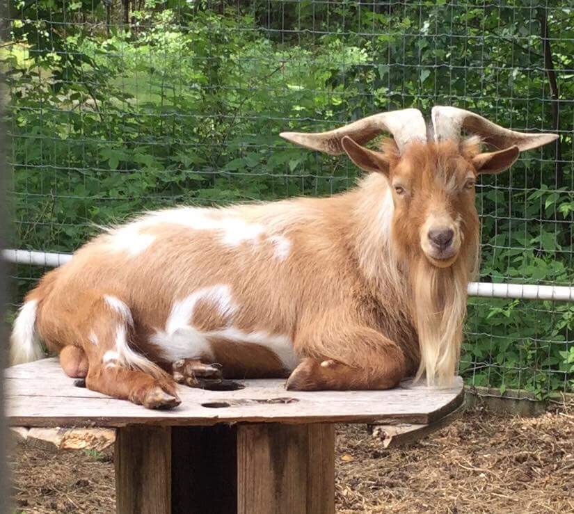 Goat lounging