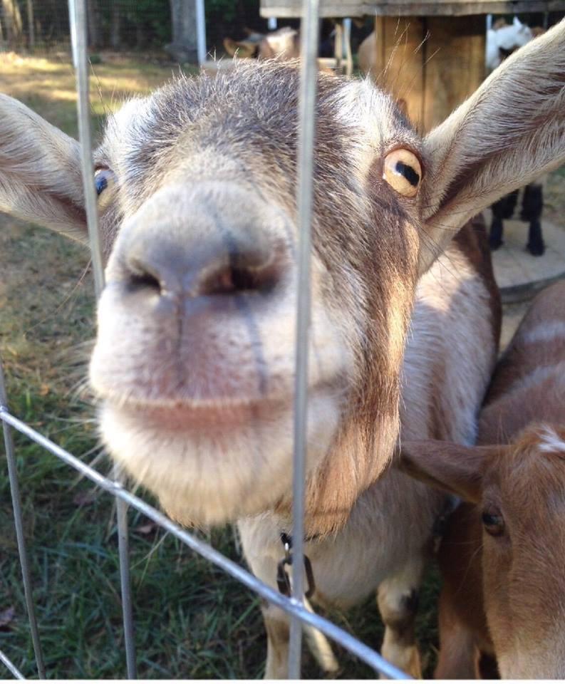 Goat saying hi!