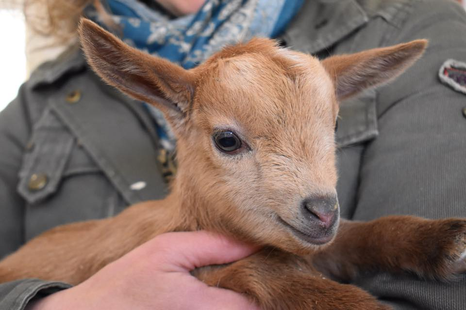 Baby Goat at Bending Birch Farm