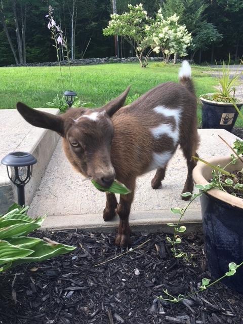 Penelope Nigerian Dwarf goat