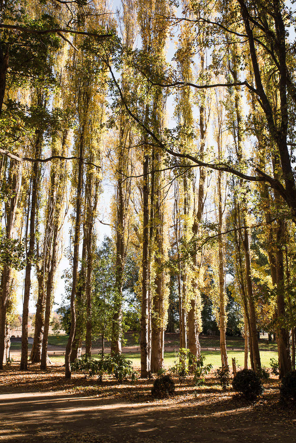 Beautiful Poplar trees surround the houses at Mona Farm