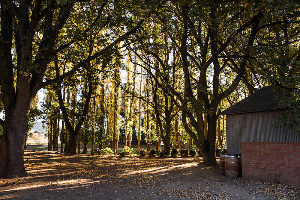 The driveway surrounded by towering poplar trees at Mona Farm