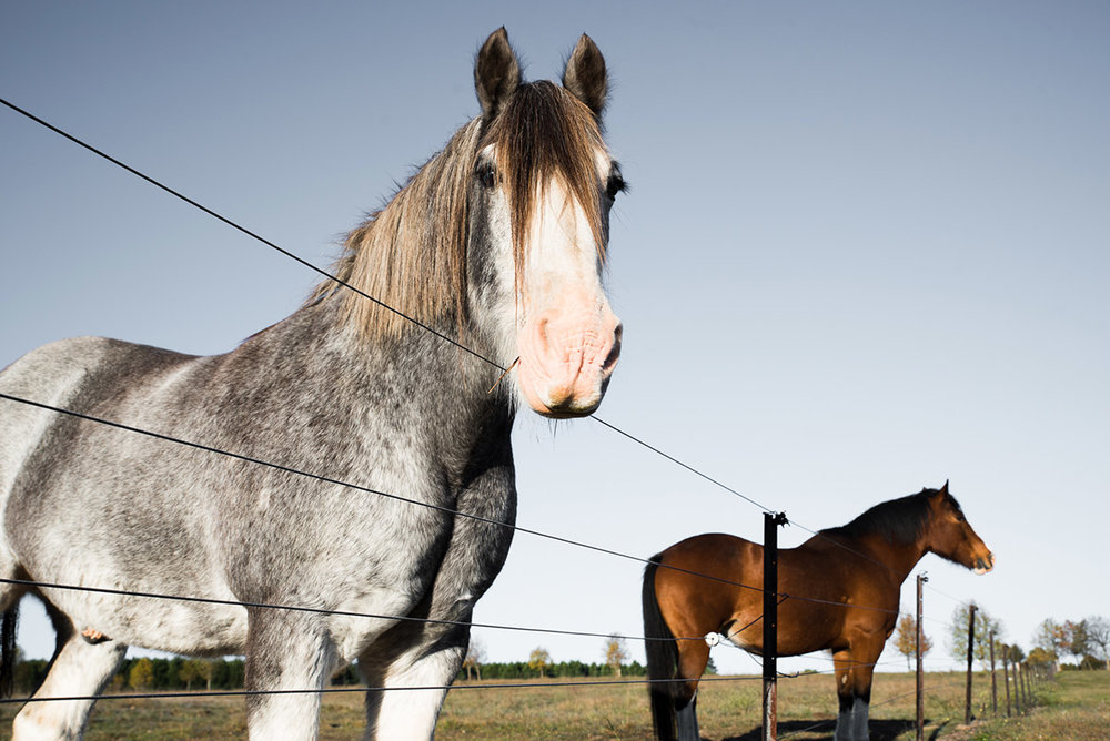 Beautiful Clydesdale horses in Braidwood at Mona Farm