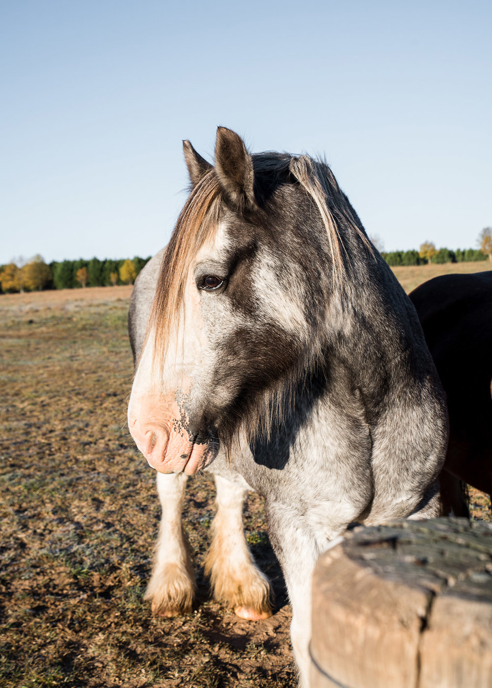 Clydesdale horses at working farm and luxury rural property Mona Farm