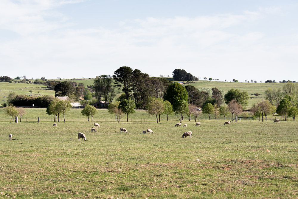 Wiltshire ewes and lambs at working rural property Mona Farm