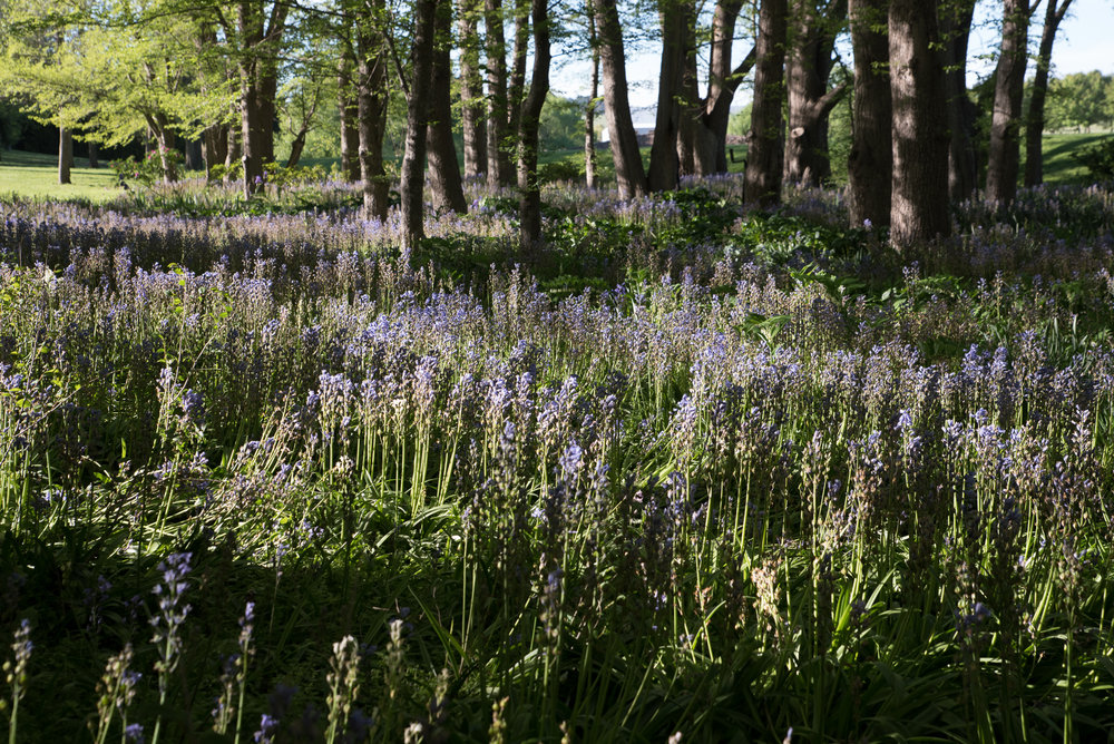 Fields of Bluebell flowers at Mona Farm