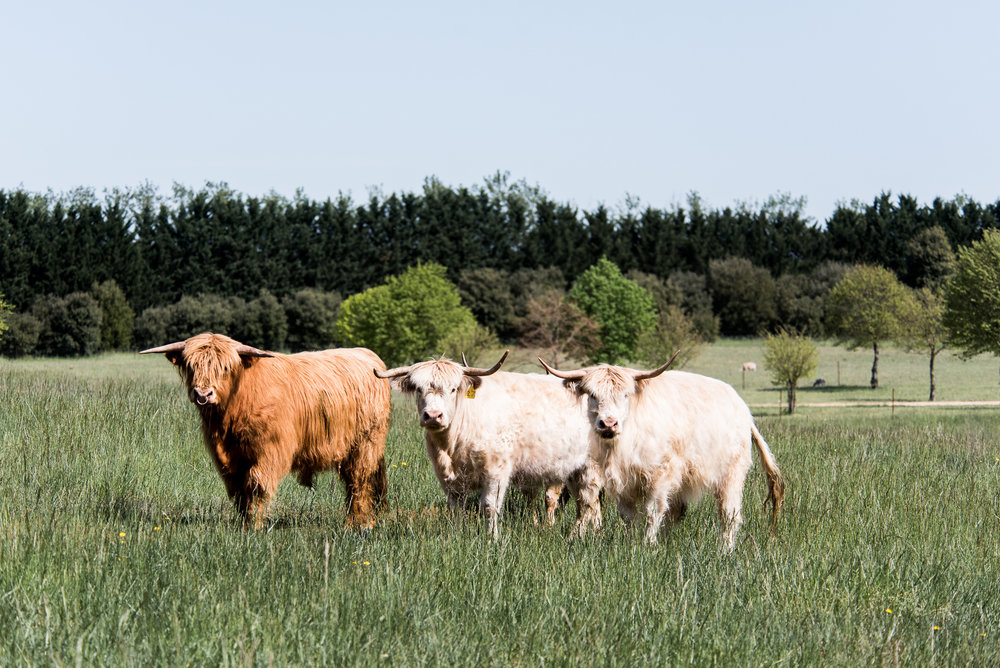 award winning Scottish Highland bulls at Mona Farm
