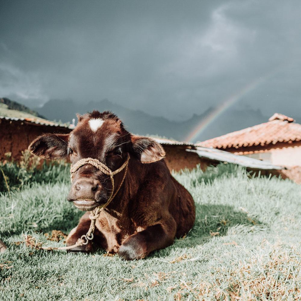 Peru-cow.JPG