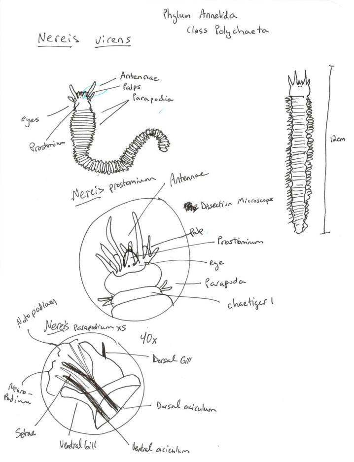 Diagram Of Clam Anatomy