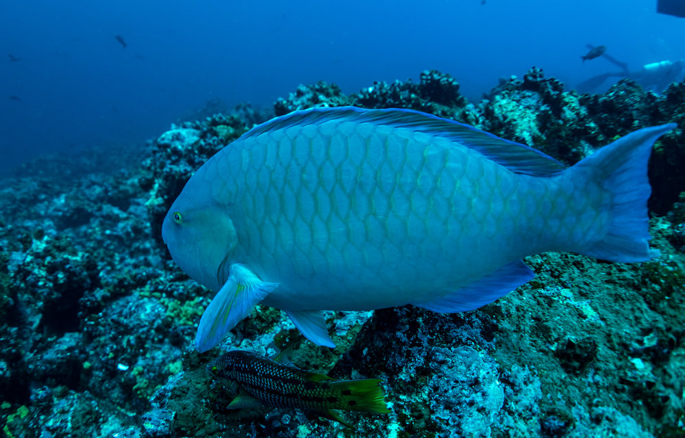 A Parrotfish on a reef in the Galapagos Islands. Photographer: Jonas Legernes