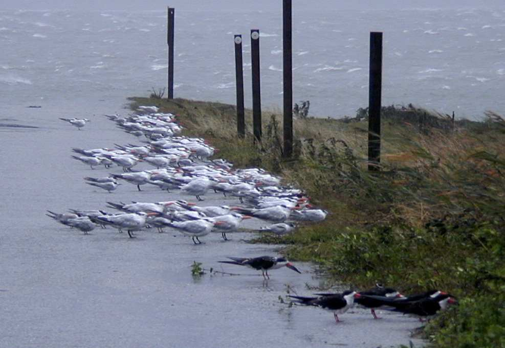 Nags Head, N.C., 8/31/99 -- Near the Oregon Inlet, the winds were reaching 50+ miles per hour, sustained, with gusts higher than that, as Hurricane Dennis moves closer to the shoreline after it's turn in direction. Even the birds weren't flying - they were laying low behind the ground cover. Photo by DAVE GATLEY/FEMA  Photo by Dave Gatley - Aug 30, 1999 - Location: Nags Head, NC