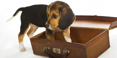 beagle in suitcase.jpg