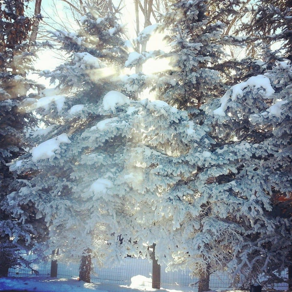 Setting sun shining through the frosty trees in Jackson, WY.