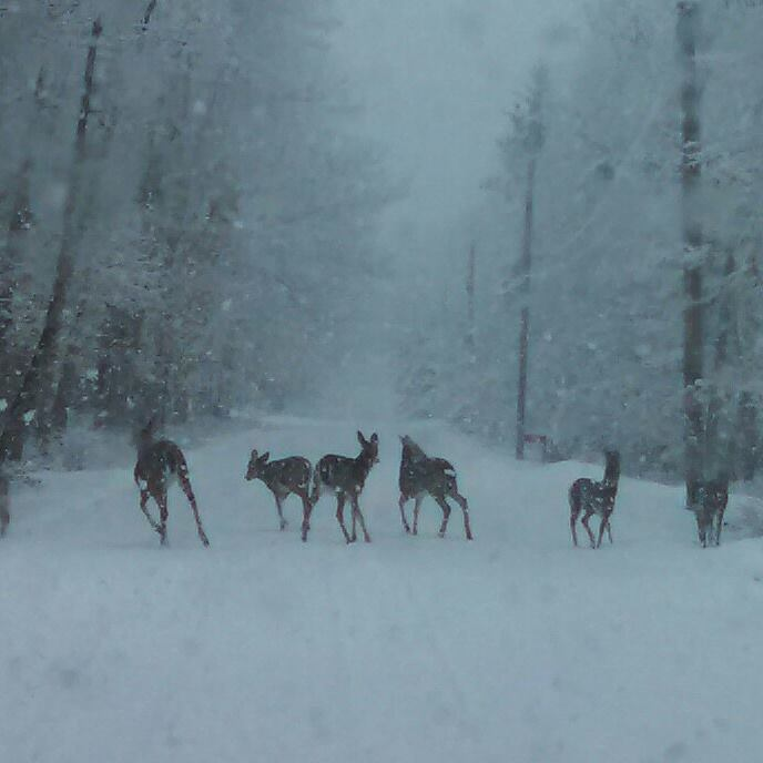 Snowy spring day even the deer are confused as heck taken today 3/31/15 in Poconos Pa