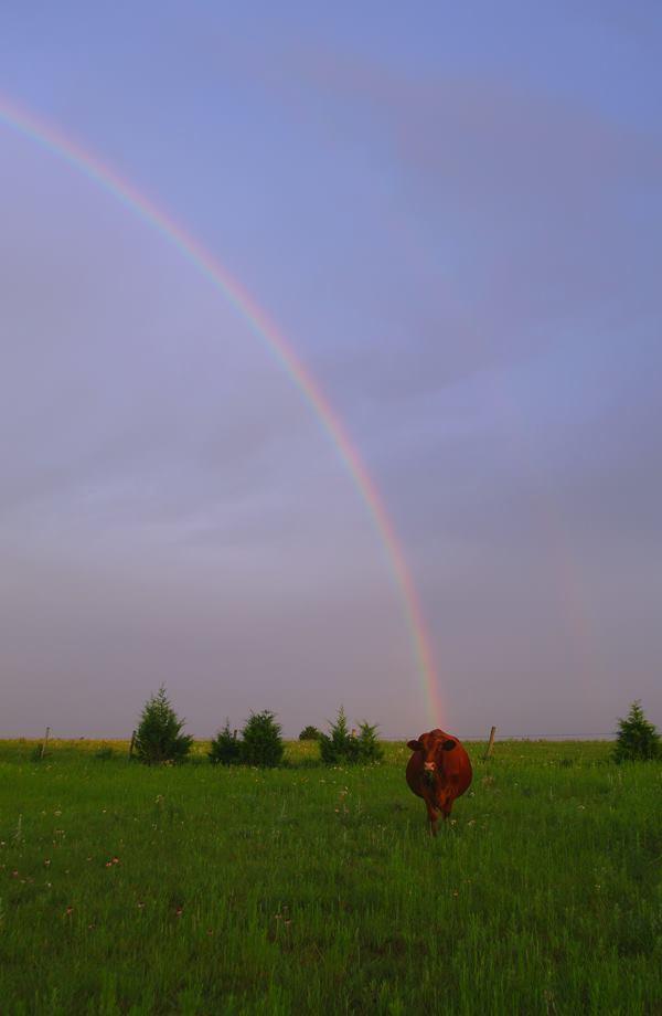 Rainbow and cow. Norman, Oklahoma, 2007
