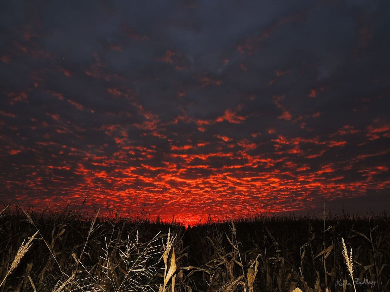Sunset this evening behind an unharvested cornfield, in western Dewitt county, IL..6:52 pm.
