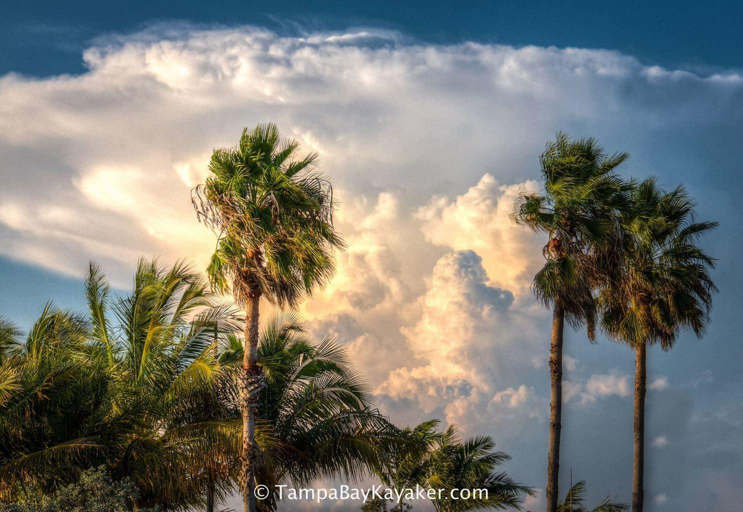 Big Storm Through The Palms - Sarasota, Florida
