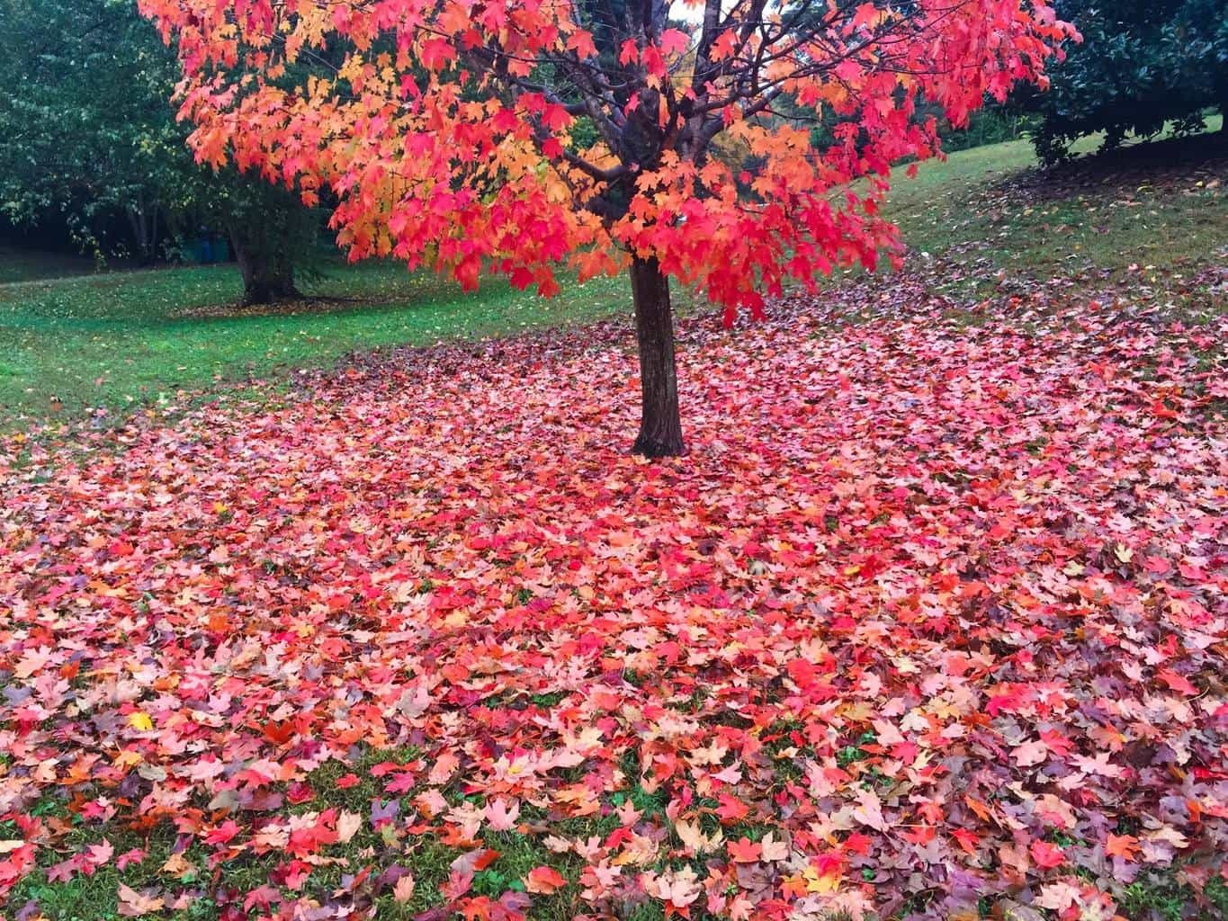 Might as well add a fall color shot also. Taken with my IPhone right down the road in the Atlanta area