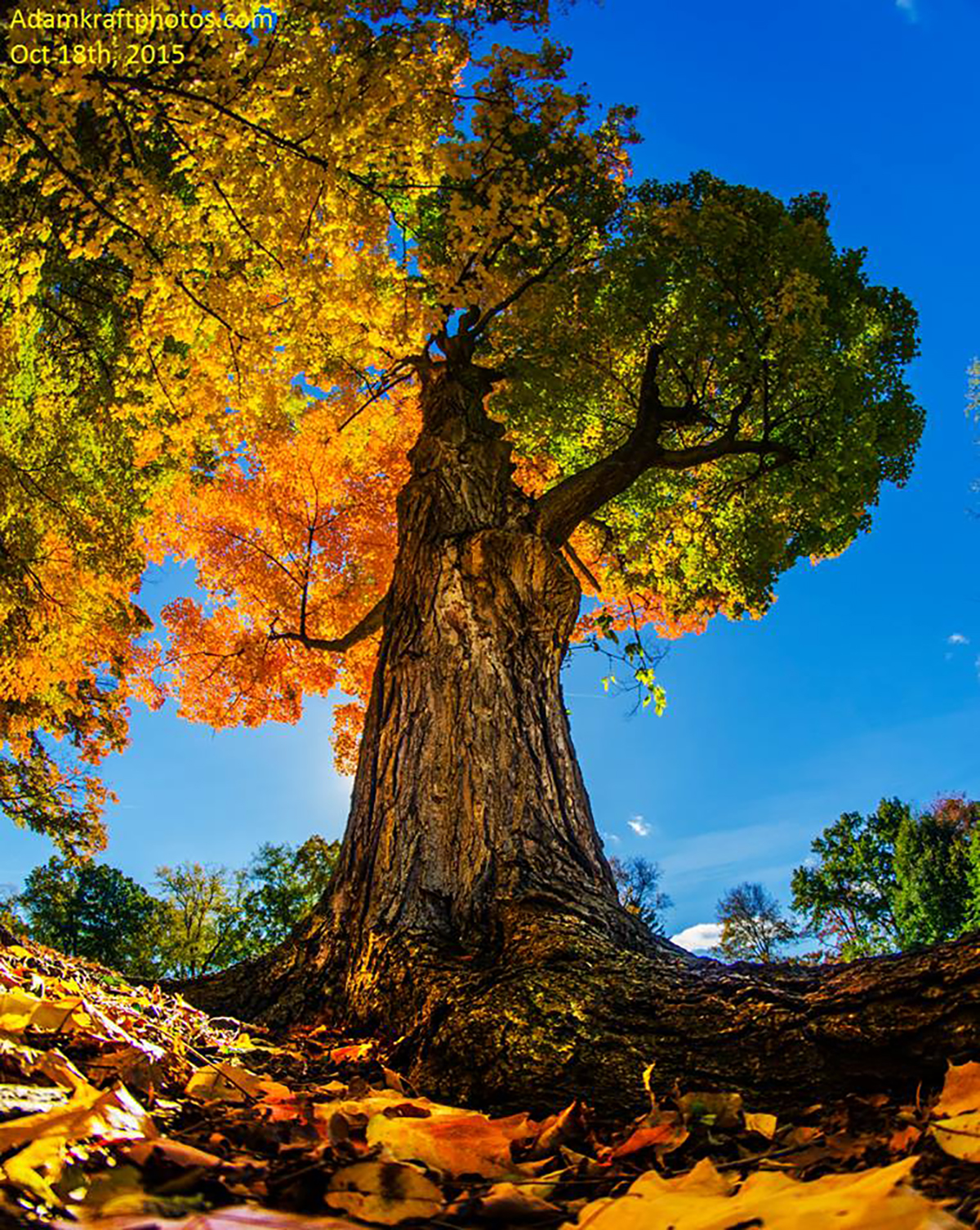 This beautiful and old Sugar Maple that I photographed from a different perspective really is the tale of two seasons with its color as the huge trunk appears like the dividing point. Pic taken in Jackson MI.
