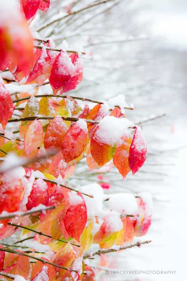 From last Saturday's snow storm - those fall colors still present, against the pure white background. Photographer's paradise! Naperville, IL.