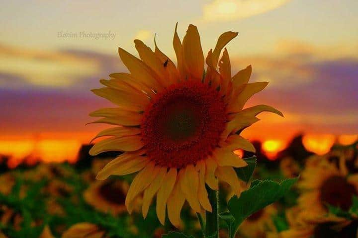 Another shot from my sunflower sunset shoot!