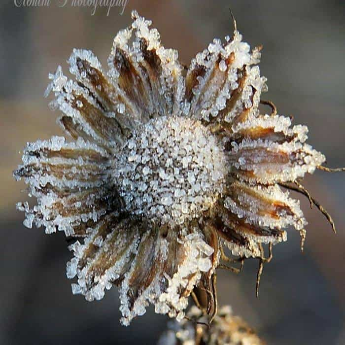 I am always amazed at nature, the handiwork of God is so beautiful...Macro shot of a weed covered in frost!