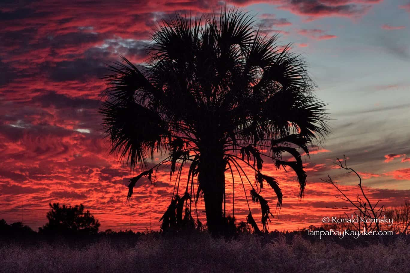 Blood Red Sunset and Sabal Palm - Dec. 2015 — in Plant City, Florida.