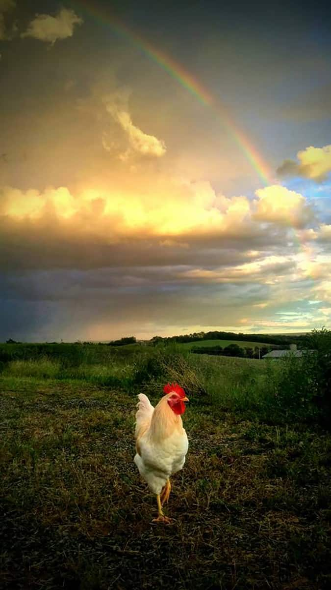 Napoleon the chicken is enjoying the rainbow after the storm.