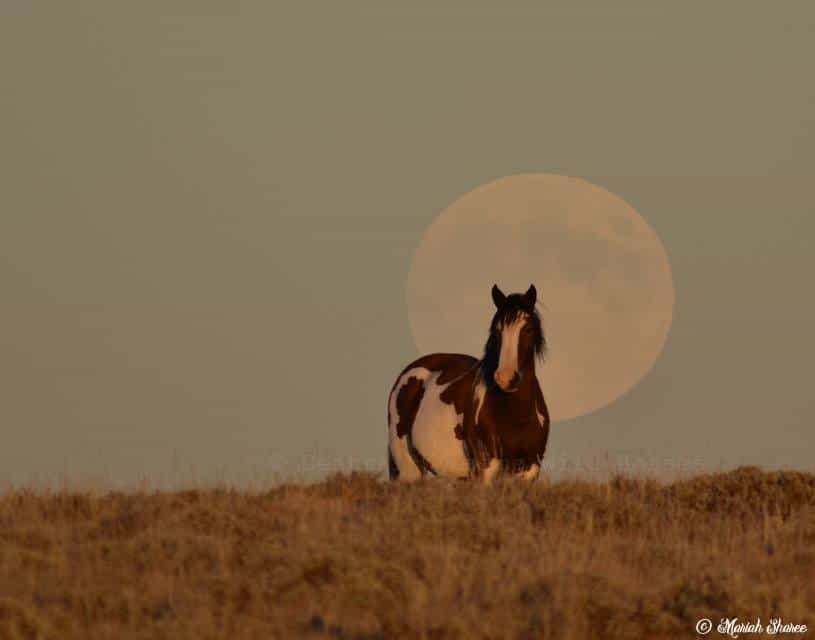 Blood Moon+Super Moon of 2014, and a wild mustang mare in front of it. Non-Composite, No moon enlarging.