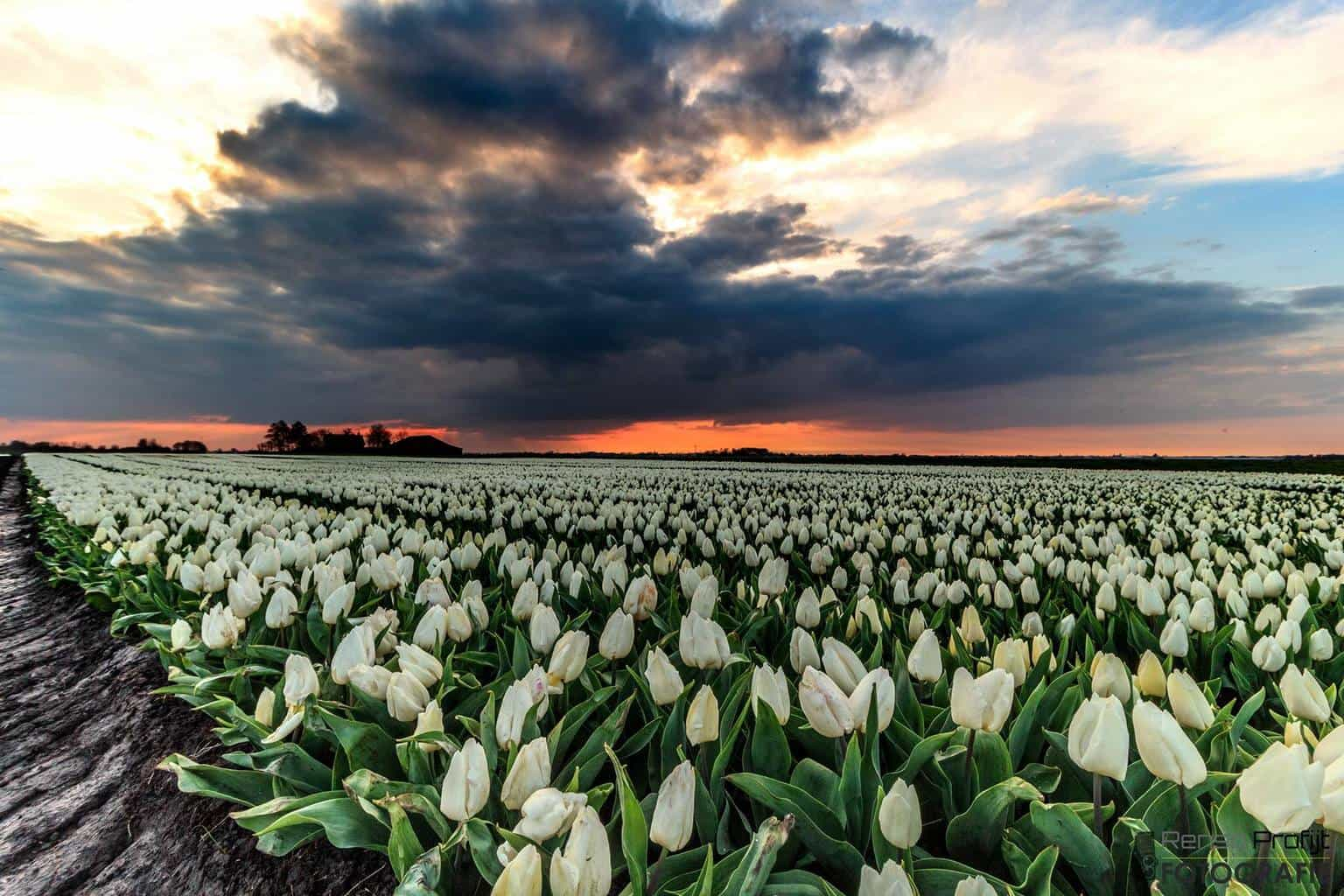 Dark Clouds above the tulips... yesterday in the netherlands