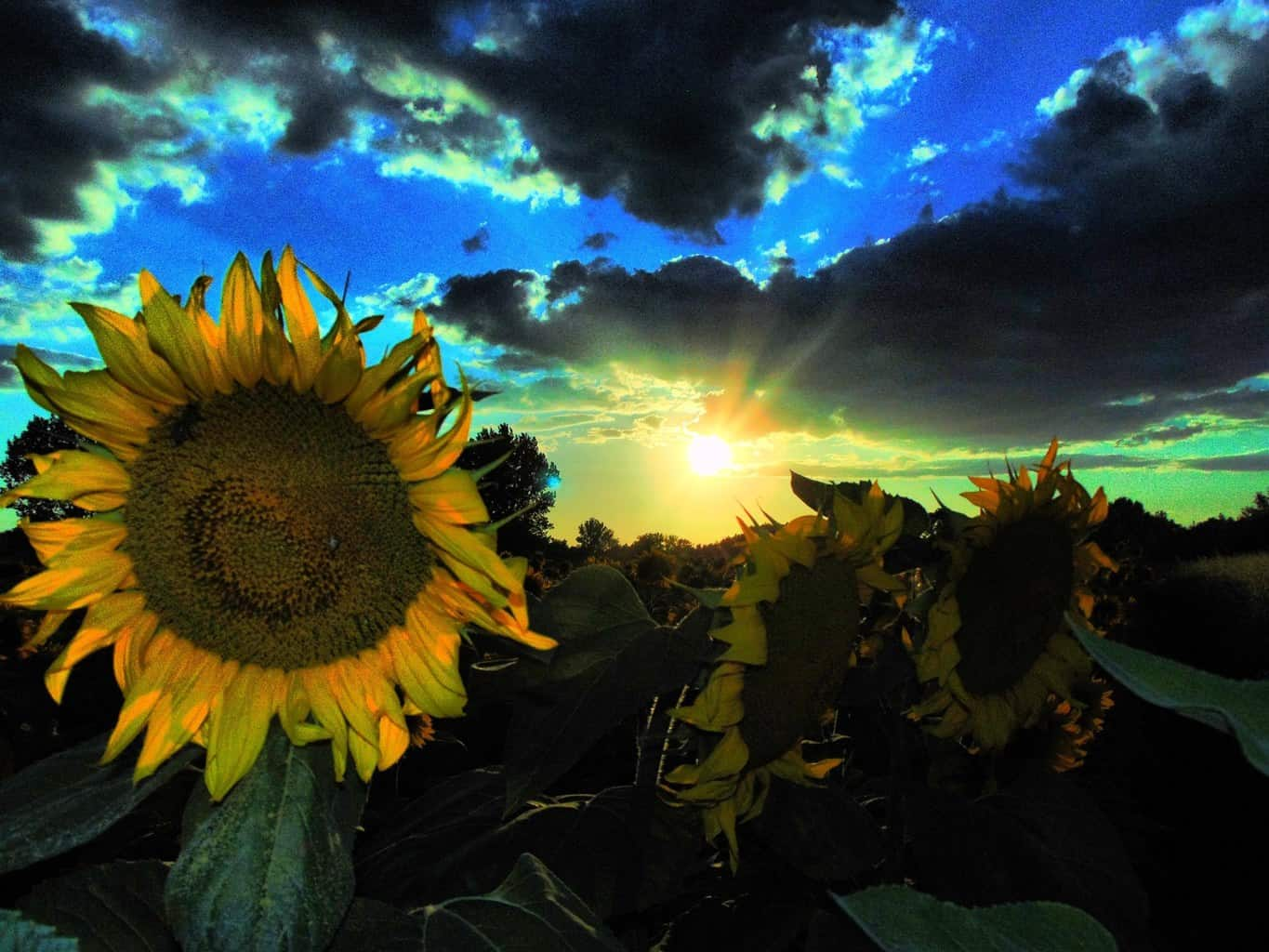 Last summer between sunflowers.