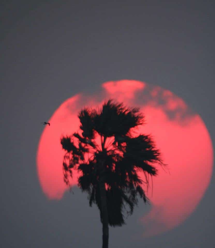 """A Rio Grande Valley sunset complete with palm and seagull.  1/500 f/6 ISO 400 fl 1233mm......Taken at the first focus of an 8"""" Newtonian telescope All images come as WYSIWYG. No enhancements or post processing. Only minor adjustments in brightness and contrast as needed."""