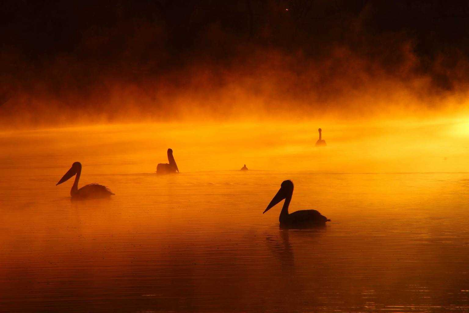 """""""Pelicans in the mist"""" Captured at Warwick, Qld. Mist rising of the Condamine river early on a below zero morning."""
