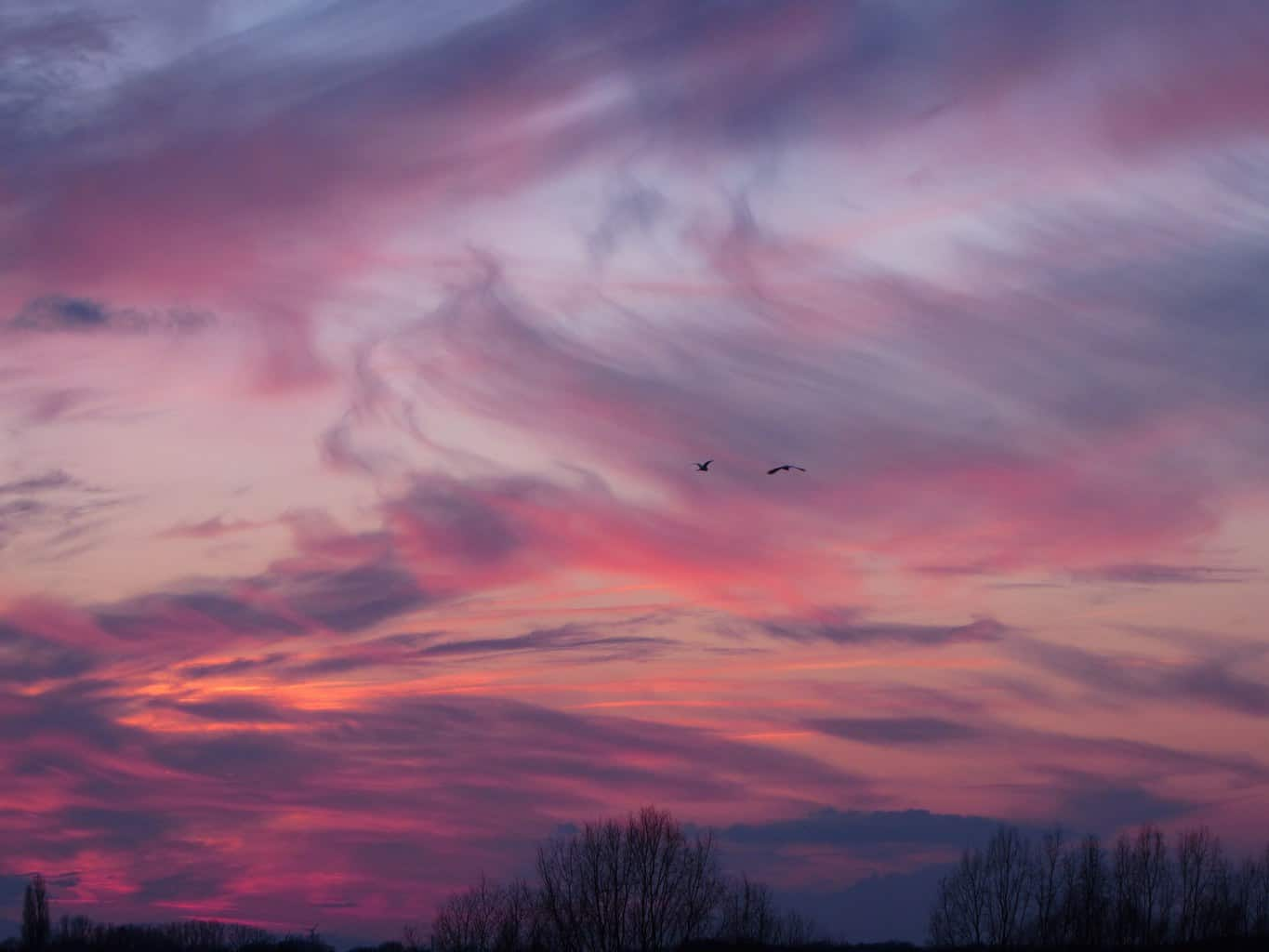 Two herons flying into the sunset. Netherlands